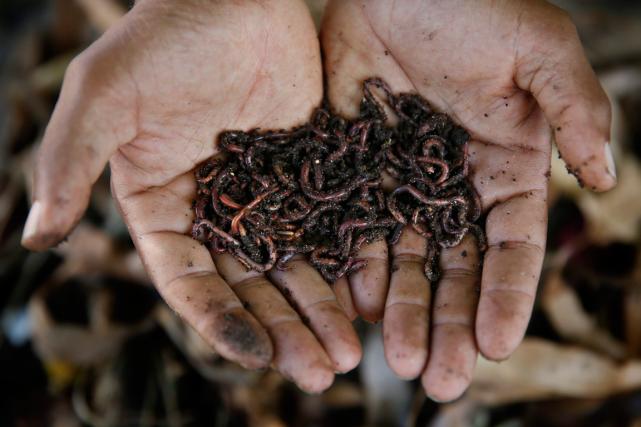 Les vers de terre grignotent joyeusement des feuilles toxiques pour les autres... (Photo archives AP)