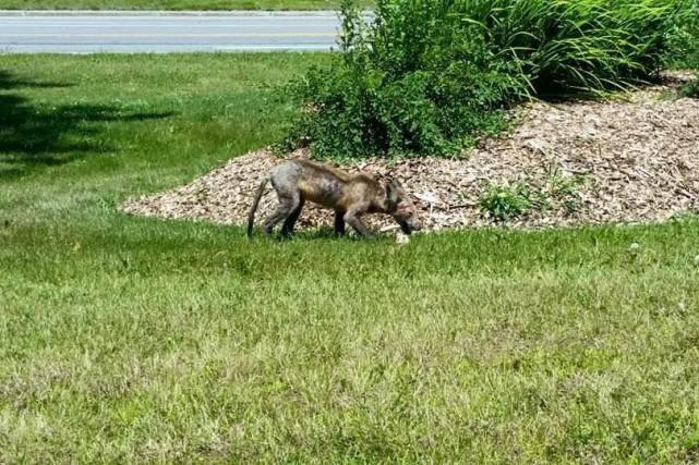 Certains coyotes sont atteints de la gale sarcoptique.... (Courtoisie - Facebook)