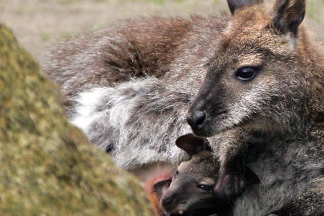 Qu'est-ce qui est gris-brun, porte son petit dans une poche et bondit gaiement... (Photo Jean-Christophe Verhaegen, archives AFP)
