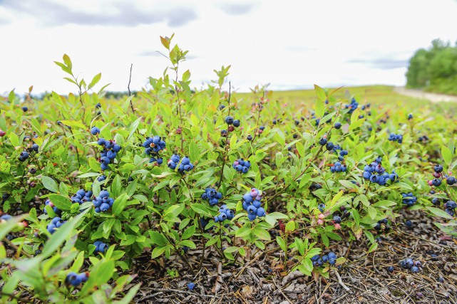 La saison du bleuet est difficile pour les... (- photo le progrès-dimanche, Gimmy Desbiens)