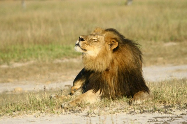 Cecil était l'un des lions les plus connus... (Photo A.J. Loveridge, archives Reuters)