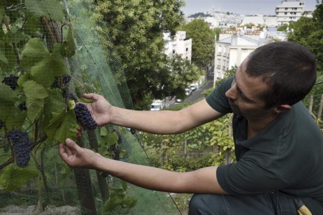 Il n'y a pas qu'à Montmartre que la vigne pousse à Paris: perché à côté du parc... (PHOTO AFP)