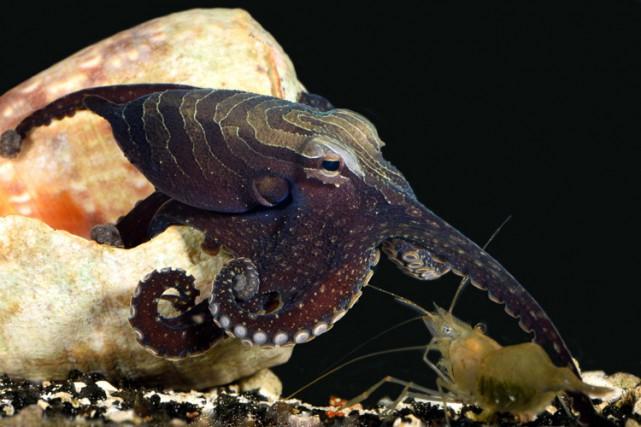 Le grand poulpe à rayures est un animal... (PHOTO AP)