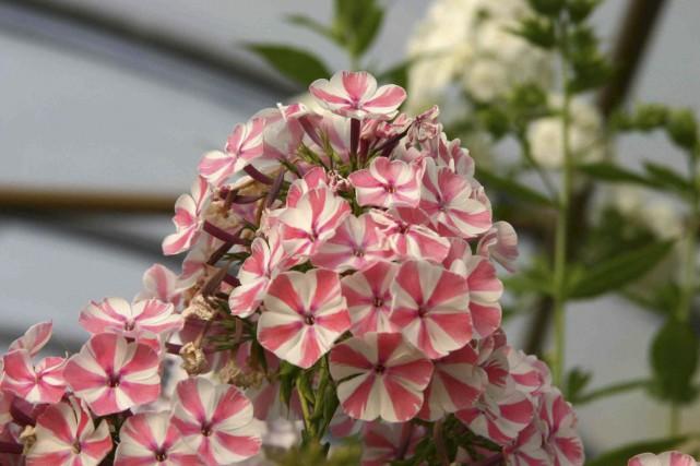 Les fleurs bicolores du phlox 'Peppermint Twist' attirent... (www.jardinierparesseux.com)