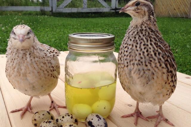 La caille, beaucoup plus petite que la poule,... ((Photo Le Progrès-Dimanche, Mélyssa Viau))