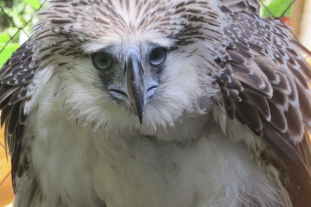 Un aigle des singes des Philippines, rapace en danger critique d'extinction, a... (PHOTO AGENCE FRANCE-PRESSE/PEF)