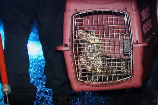 L'alligator a été capturé et mis en cage.... (PHOTO TIRÉE DU FIL TWITTER DE RADIO-CANADA)