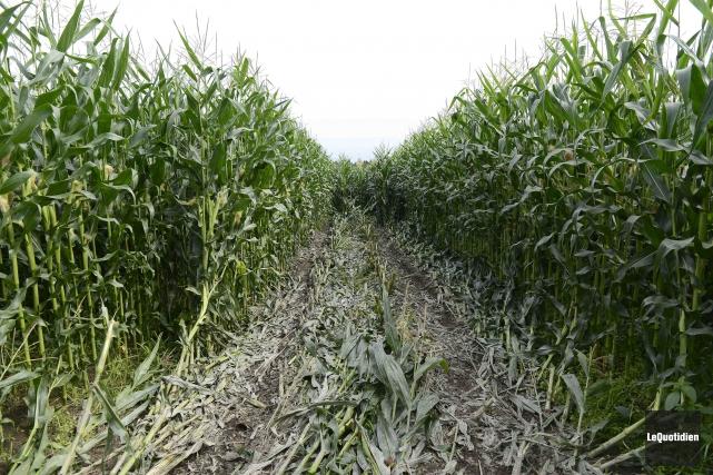 Un malfaiteur a anéanti une partie des récoltes... (Photo Le Quotidien, Jeannot Lévesque)