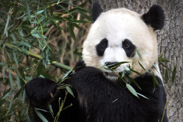 En juillet, Mei Xiang, qui a déjà eu... (Photo Susan Walsh, archives AP)