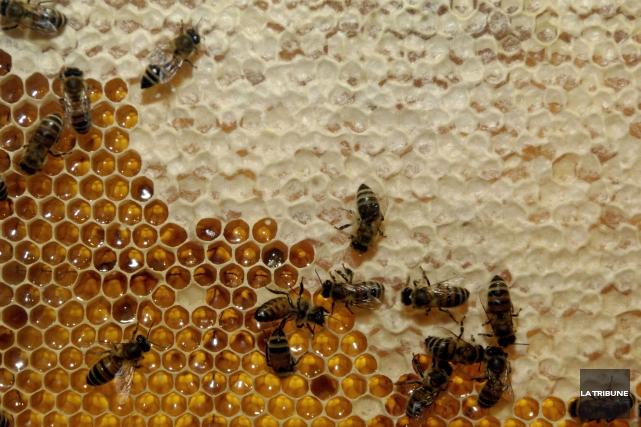 « Pour l'instant, la récolte de miel commence... (Archives, La Tribune)