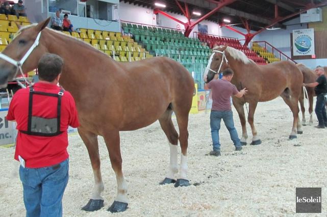 En matinée mercredi, les chevaux Belge étaient les... (Le Soleil, Yves Therrien)