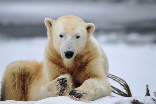 Knut, en 2010.... (PHOTO JOHANNES EISELE, ARCHIVES AFP)