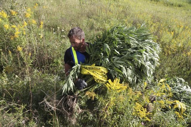 Des producteurs de cannabis auront une bien mauvaise surprise lorsqu'ils... (photo Janick Marois)
