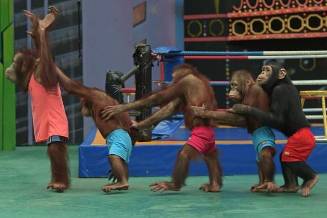 Les combats d'animaux restent courants en Thaïlande.... (Photo PORNCHAI KITTIWONGSAKUL, AFP)