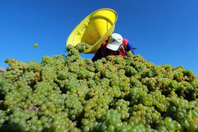 Les quantités récoltées devraient se situer dans la... (PHOTO NICOLAS TUCAT, AFP)