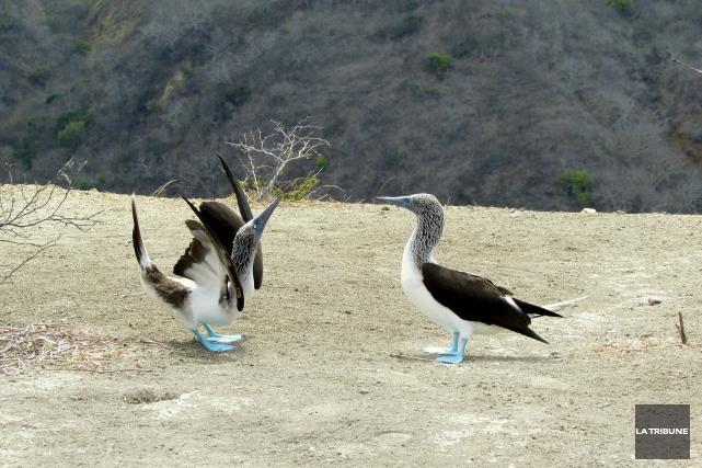 Les fous à pattes bleues dansent pour séduire... (La Tribune, Jonathan Custeau)