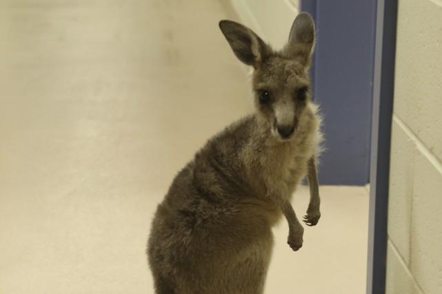 Un bébé kangourou recueilli en juin dernier par... (photo Janick Marois)