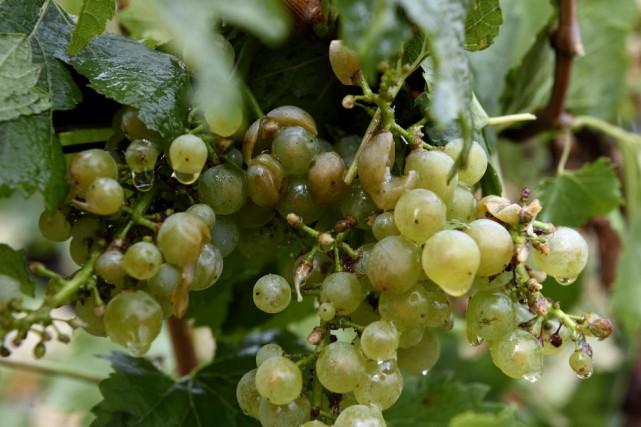 Selon un sondage «Terre de vins», 40% des... (PHOTO ERIC FEFERBERG, AFP)