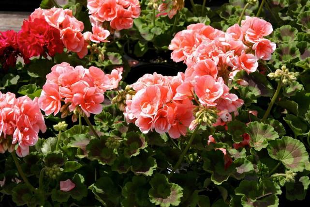 Le pélargonium, autrefois appelé géranium, est parmi les... (www.jardinierparesseux.com)