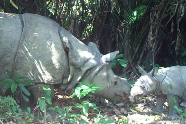 Les rhinocéros ont été filmés au côté de... (PHOTO AFP/PARC NATIONAL UJUNG KULON)