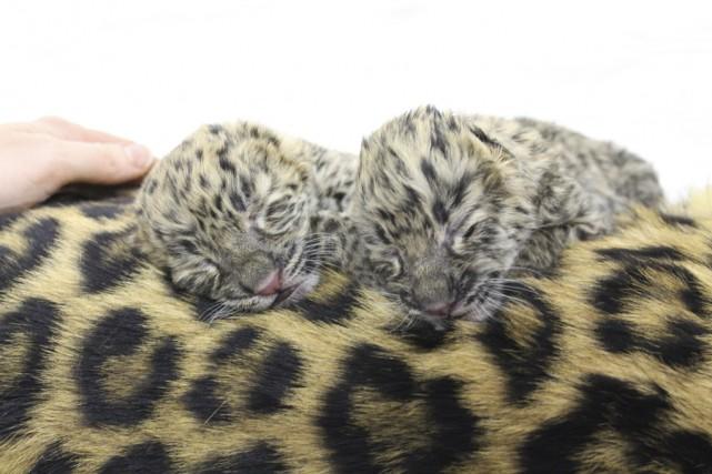 La naissance par césarienne de deux léopards de... (photo fournie par le Zoo de Granby)
