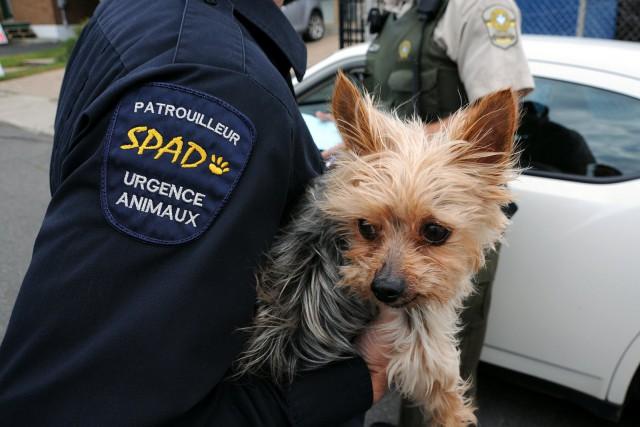 Une dame a tenté d'enlever un jeune chien de race Yorkshire, jeudi après-midi,... (Photo collaboration spéciale Éric Beaupré)