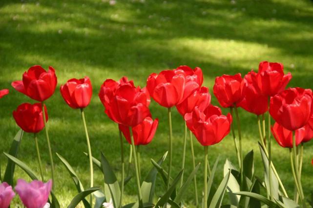 La tulipe Darwin hybride 'Red Impression', symbole de... (PHOTO WWW.JARDINIERPARESSEUX.COM)