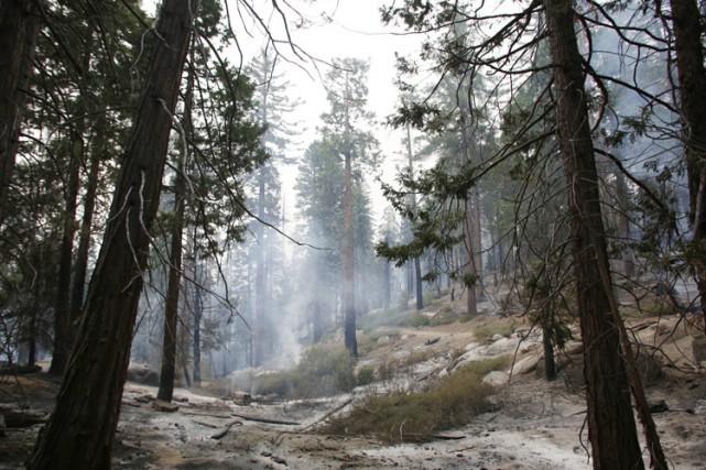 Paradoxalement, les séquoias ont besoin de feux de... (PHOTO AP)