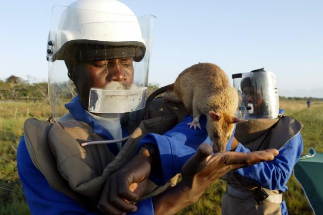 Les démineurs étaient parfois assistés de rats géants,... (PHOTO HOWARD BURDITT, ARCHIVES REUTERS)