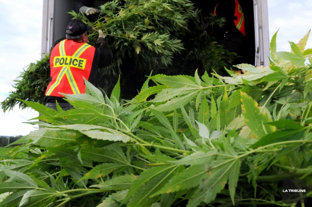 La saison des récoltes de cannabis bat son plein en Estrie comme ailleurs au... (Archives La Tribune)