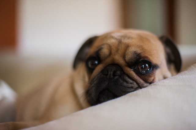Si votre animal de compagnie présente une attitude... (Photo Thinkstock)