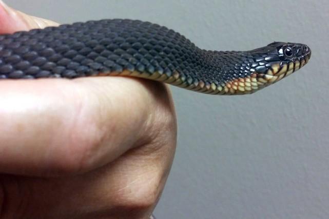 Le serpent marin à ventre jaune vit en... (Photo AP)