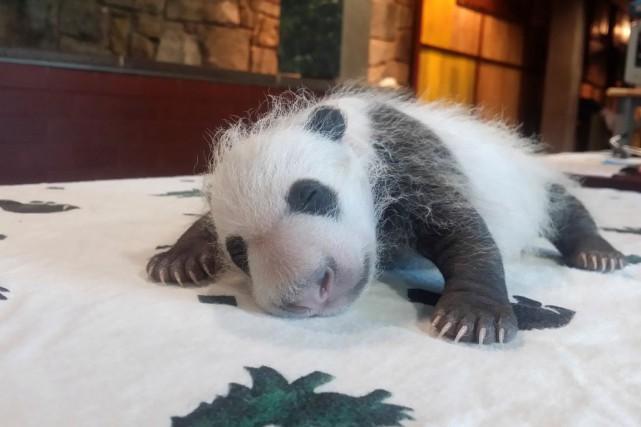Le plus jeune des pandas du zoo de... (Fournie par le zoo de Washington)