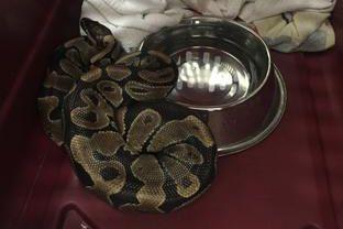 Il est interdit de posséder des reptiles dangereux.... (Photo fournie)