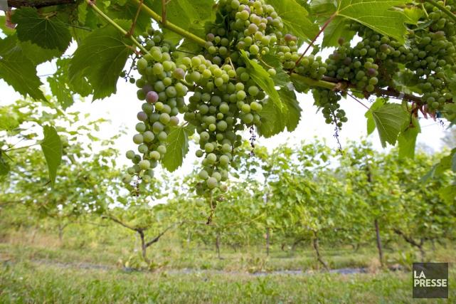 Tailler la vigne, encourager la biodiversité, développer les cépages... (PHOTO ALAIN ROBERGE, ARCHIVES LA PRESSE)
