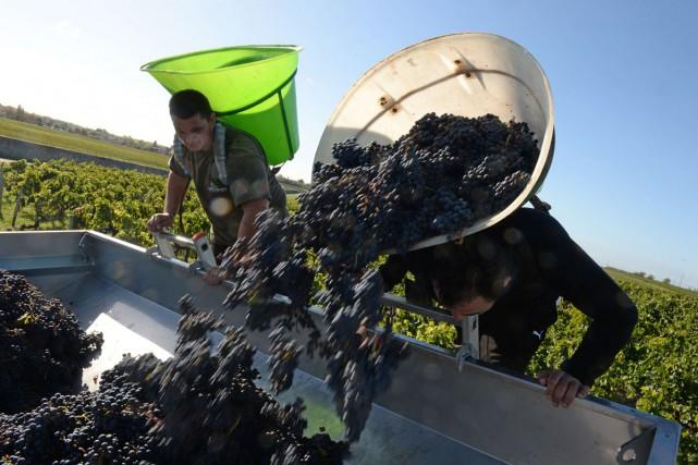 Les vendanges qui produiront les vins rouges de Bordeaux, plus de 80% de la... (PHOTO AFP)
