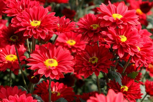 Si vous plantez des chrysanthèmes à l'automne, supprimez... (Shutterstock, kApOMnOi)