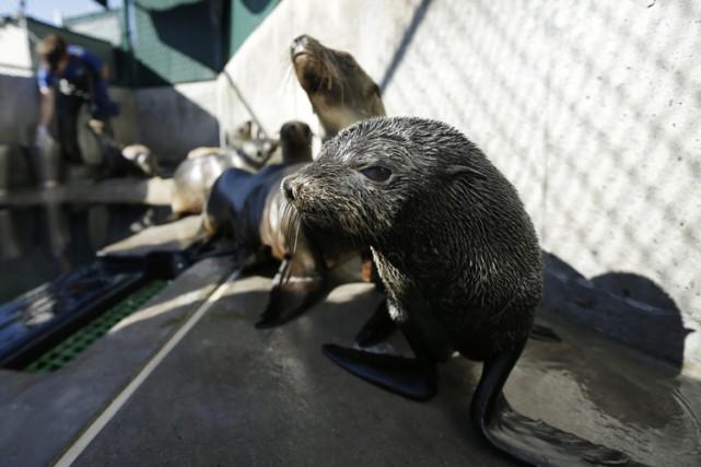 Environ 80 otaries à fourrure se sont échouées... (PHOTO AP)