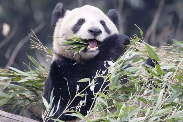 Er Shun, l'un des deux pandas géants prêtés... (PHOTO ADRIAN WYLD, ARCHIVES PC)