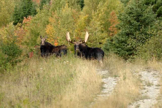 Selon les observations de chasseurs, la période d'accouplement... (Photo SÉPAQ par Steve Deschênes)