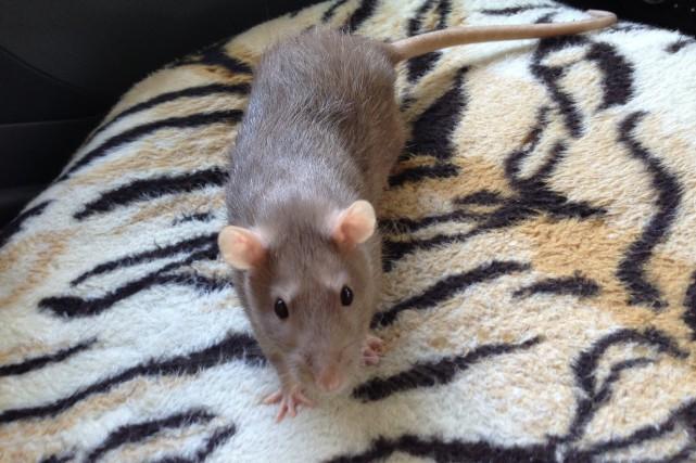 Le rat est un animal de compagnie affectueux... ((Photo Le Progrès-Dimanche, Mélissa Viau))