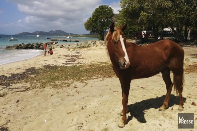 Les chevaux sont partout à Vieques, même sur... (Photo Sylvain Larocque, La Presse)