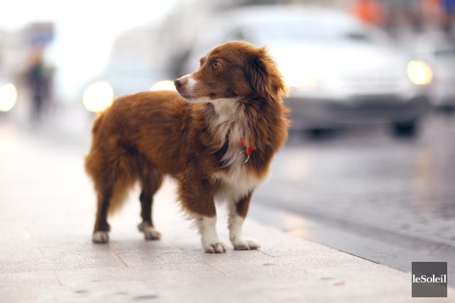 À Québec, les licences pour chien sont obligatoires,... (Photothèque Le Soleil)