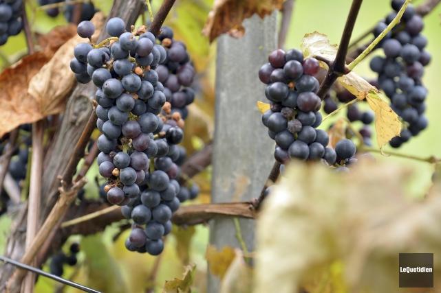 Les cépages utilisés par les vignerons doivent résister... (Photo Le Quotidien, Rocket Lavoie)