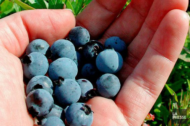 Les bleuets deviendront plus rares et leur prix... (PHOTO PHOTOTHÈQUE LA PRESSE)