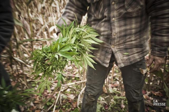 Quatre hommes en train de récolter des plants de cannabis dans le... (Archives La Presse)