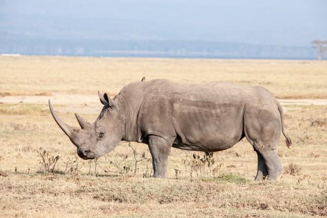 Les rhinocéros ont répondu à l'appel du chroniqueur...... (Photo 123rf)