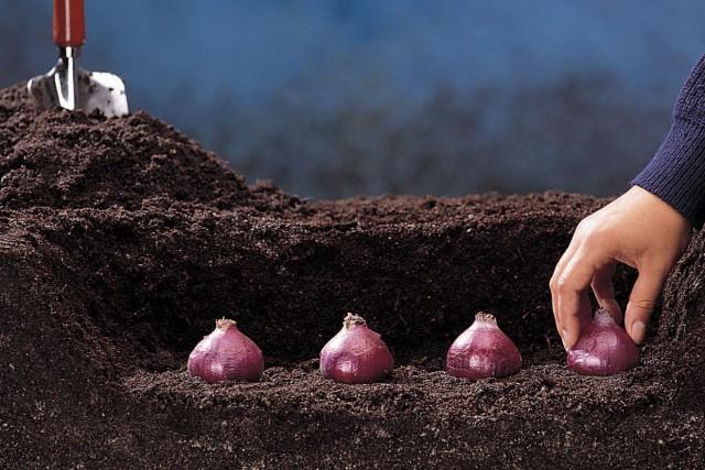 C'est la saison pour planter les bulbes qui... (Centre d'information des bulbes à fleurs)