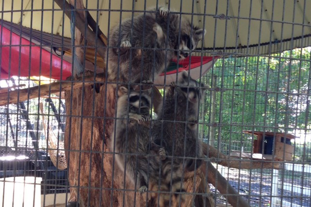 Les ratons laveurs, trouvés blessés ou malades, requièrent... (Photo Le Progrès-Dimanche, Mélissa Viau)
