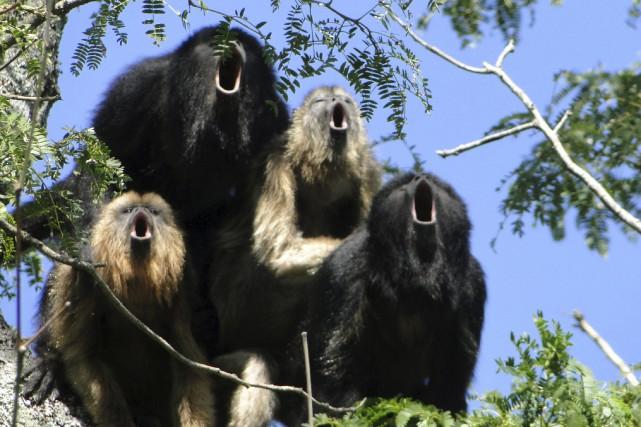 Publicités - Page 6 1075634-singes-hurleurs-peuvent-faire-entendre